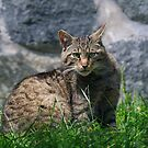 Scottish  Wildcat  by M S Photography/Art