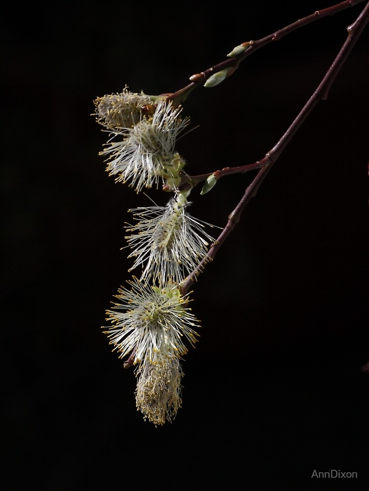 PussyWillow ... Spring is here !!! by AnnDixon