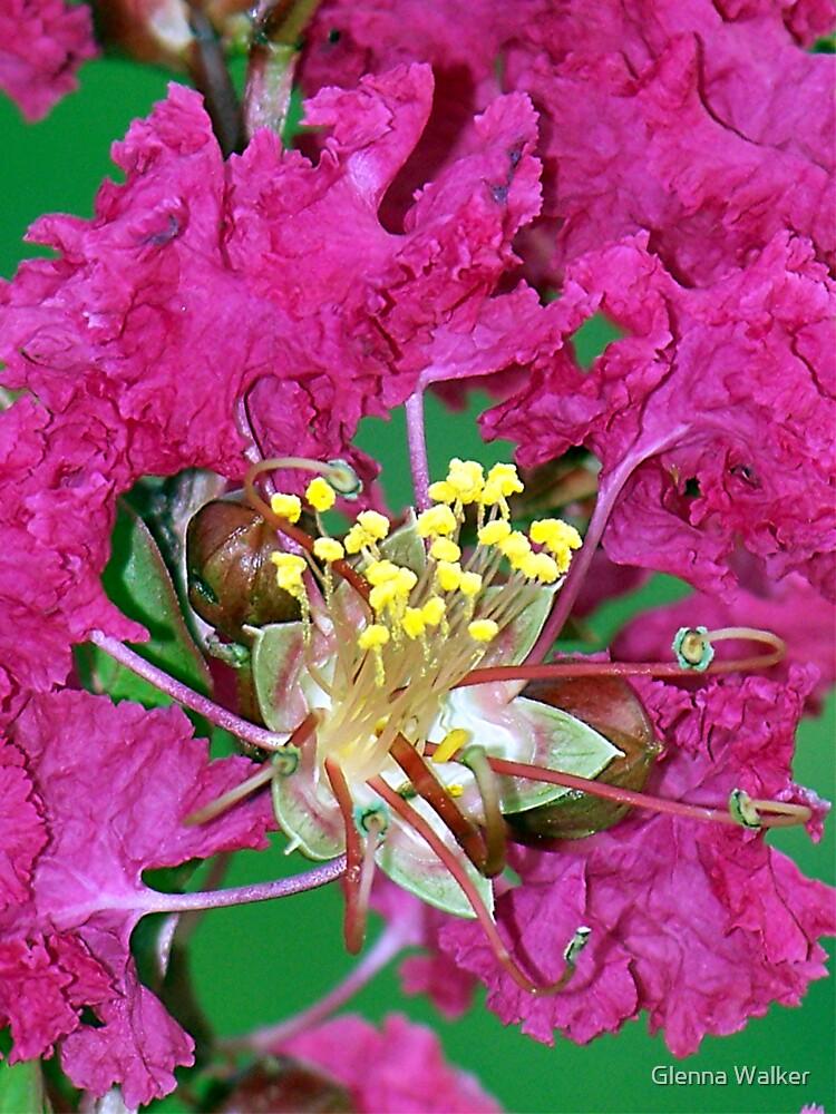 Pink Crepe Myrtles by Glenna Walker