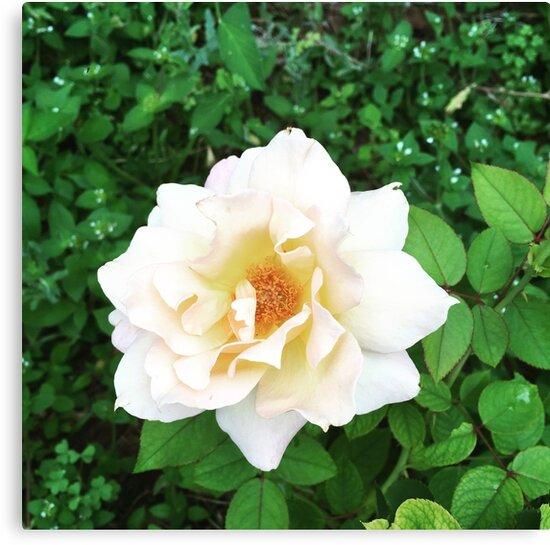 Peach rose by Jennypoo