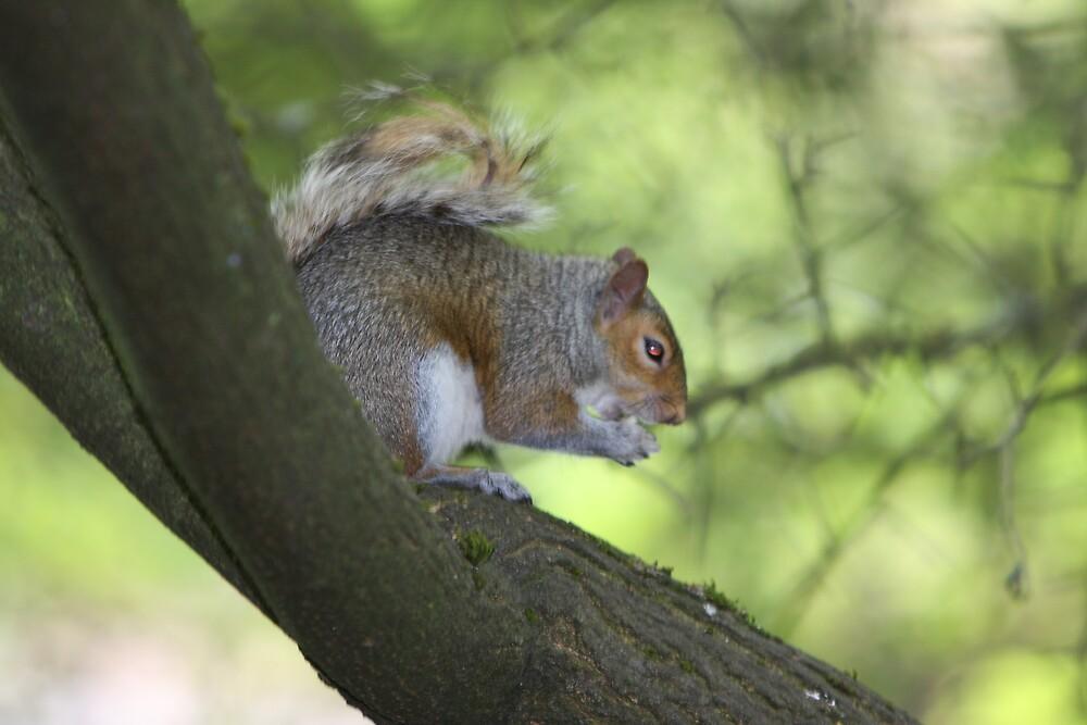 Nimh-Western Grey Squirrel by IanPharesPhoto