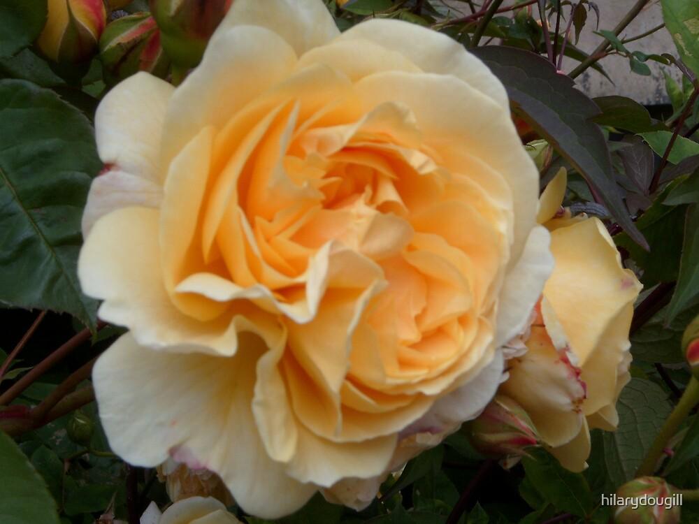 Peach Rose Original by hilarydougill