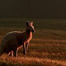 An Albino Kangaroo sharing a field with cattle by myraj