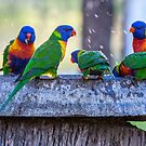 Rainbow Lorikeets by Frank Moroni