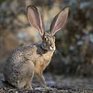 Black-tailed Jackrabbit by Sue  Cullumber