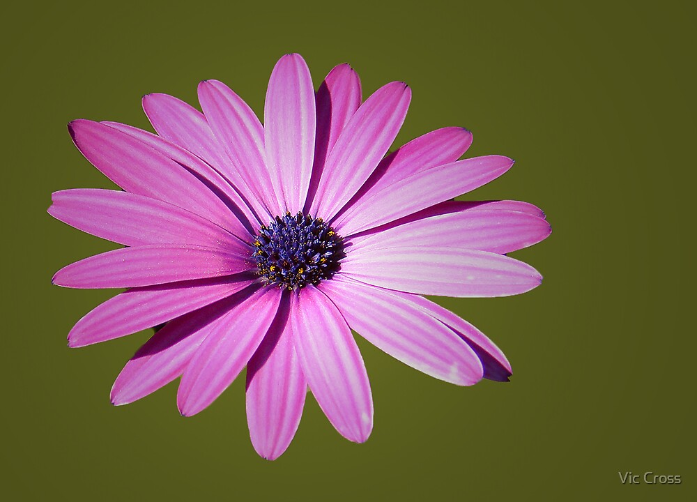 Pink daisy by Vic Cross