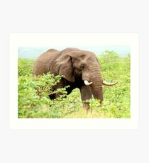 THE AFRICAN ELEPHANT - Oxodonta africana Art Print