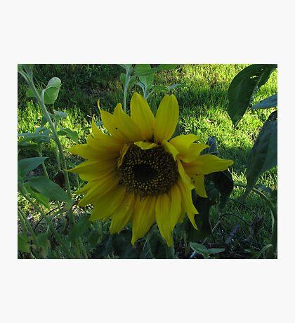 2nd Sunflower Photographic Print