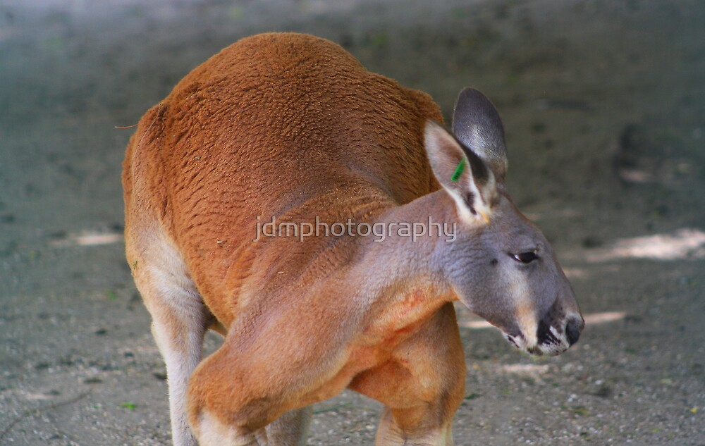 Red kangaroo by jdmphotography