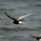 White winged tern by MichaelBr