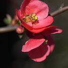 Beautiful Rich Flowering Quince by Joy Watson