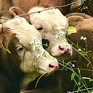 Two Cows by Christine  Wilson