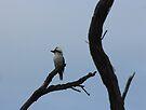 Kookaburra in a Tree by KazM