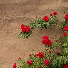 rose bush against the backdrop of ancient walls by OlgaBerlet