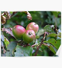 Bunch of crab apples Poster