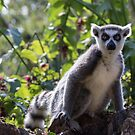 Ring Tailed Lemur by Ellesscee