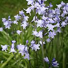 Bluebells by nicholaTisdall