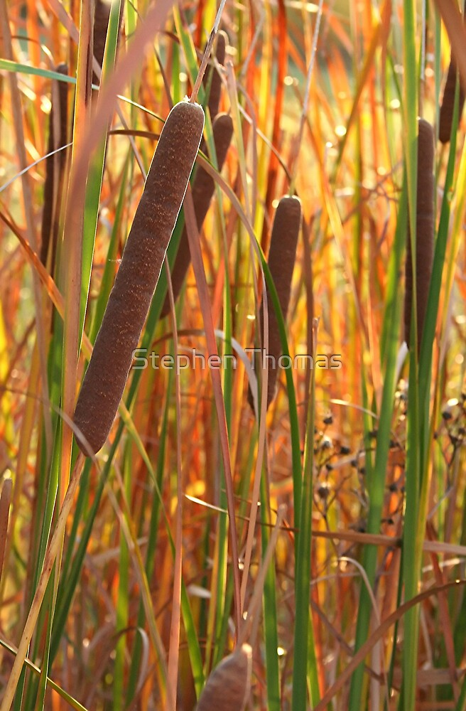 Cattails by Stephen Thomas