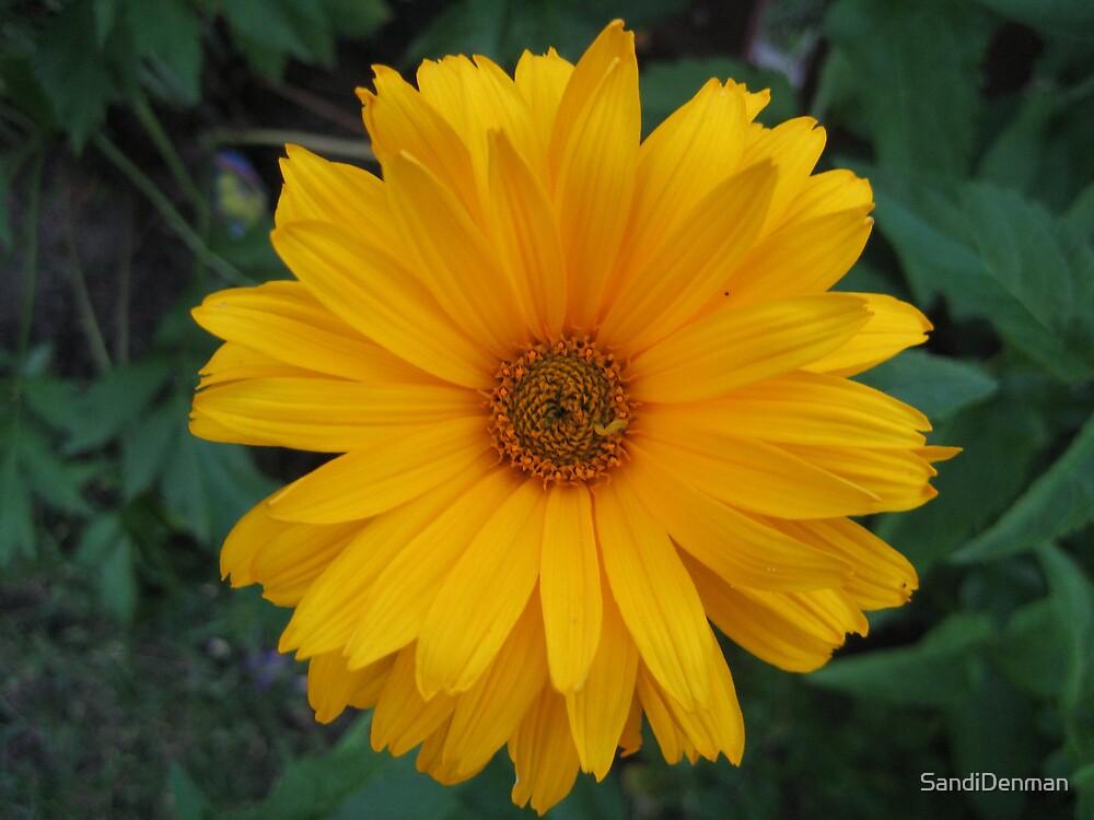 False Sunflower by SandiDenman
