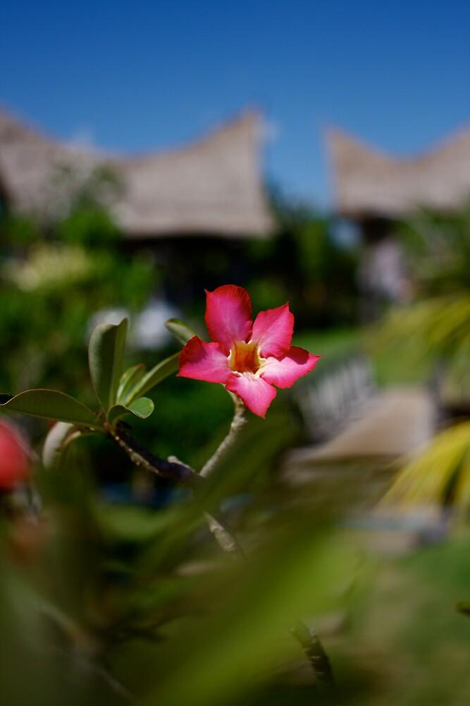 Pink Franggi by CRSPHOTO