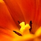 TULIP by fsmitchellphoto
