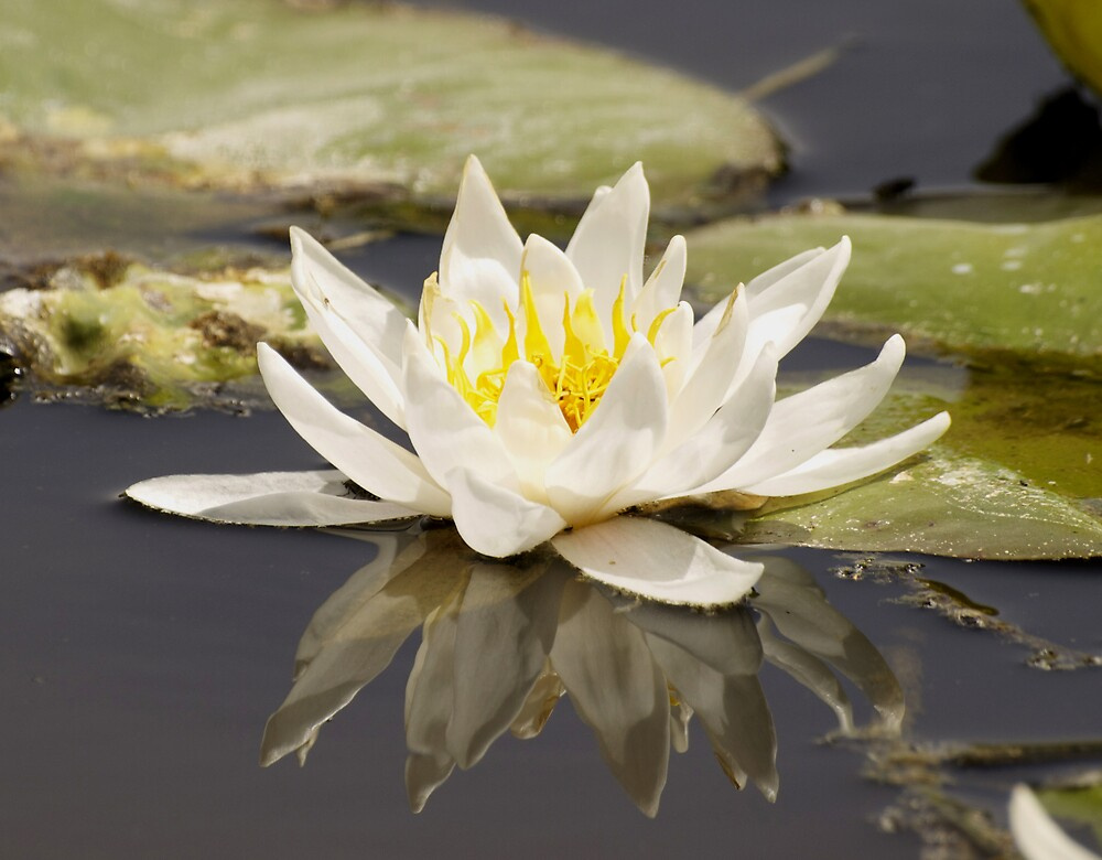 Water Lilly by MichaelBr