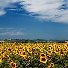 Field of sunflowers by Luciano Fortini