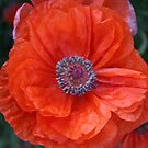 Pottsies Poppy's by LINDA DEVLIN