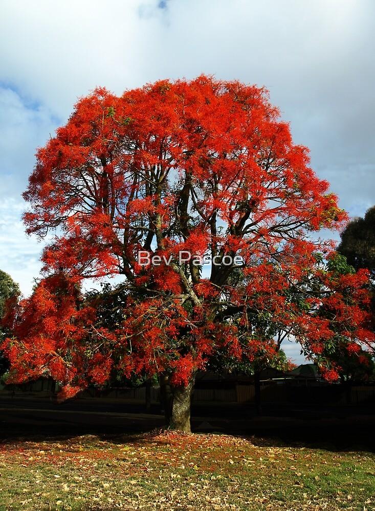 Illawarra Flame Tree - Drouin Victoria by Bev Pascoe