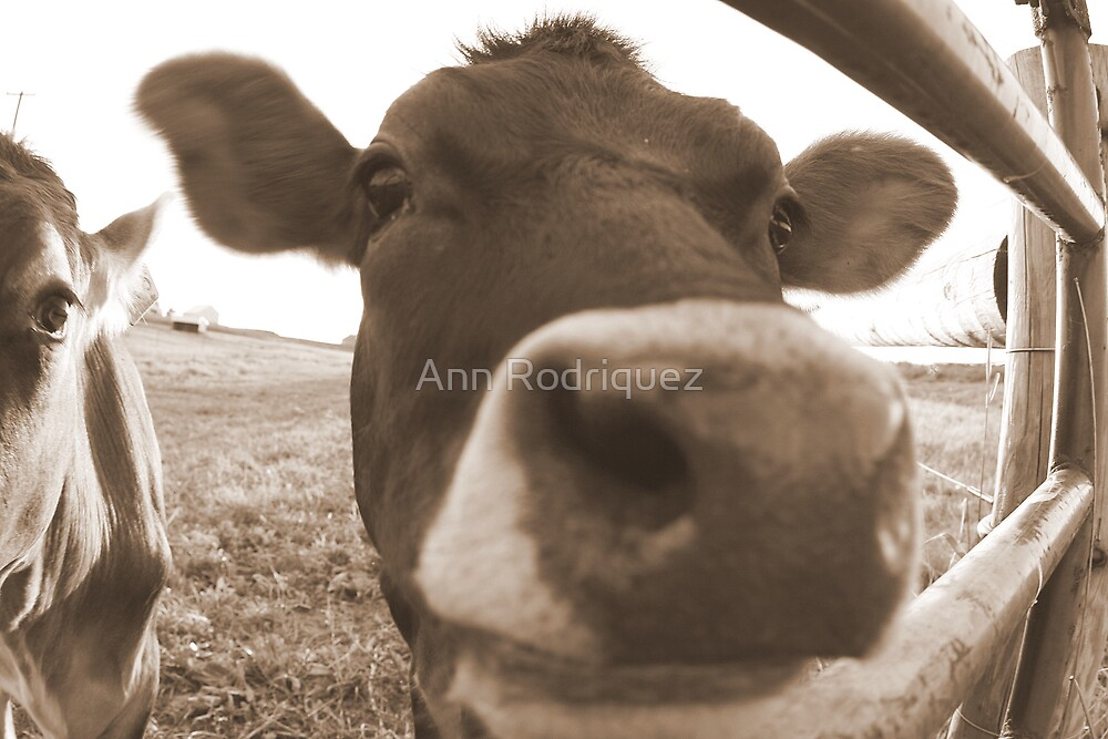 How Now, Brown Cow by Ann Rodriquez