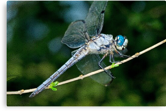 Great Blue Skimmer Dragonfly by Bonnie T.  Barry