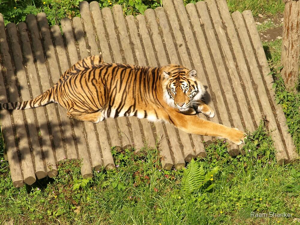Tiger Tiger ! by Raam Shanker