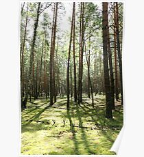 Beautiful pine forest Poster