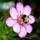 Bi-Colour Cosmos & Bumble Bee by AnnDixon