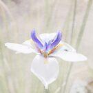 Iris by designingjudy