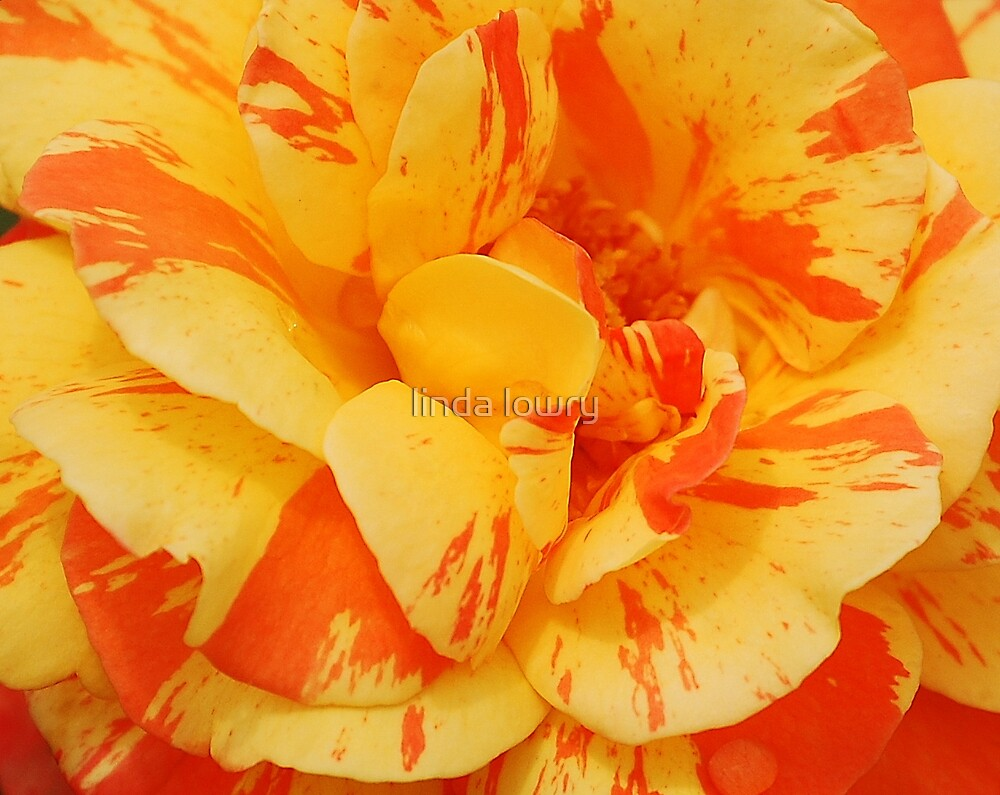 striped rose by linda lowry