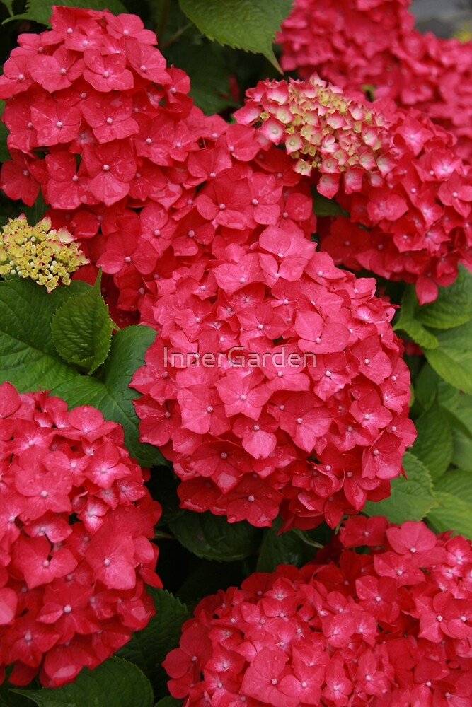 Hydrangeas of Maria by InnerGarden