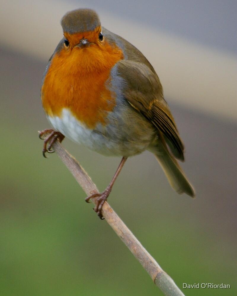 Angry Robin by David O'Riordan