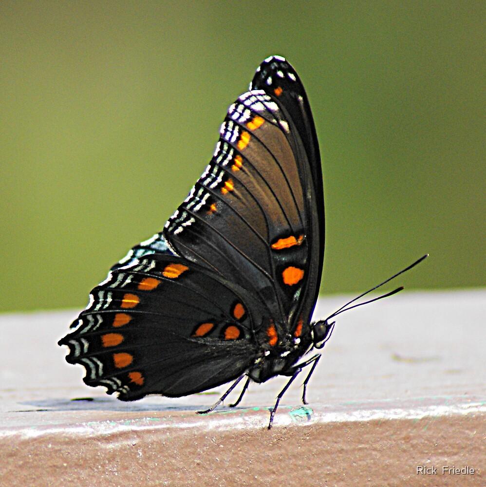 Black Butterfly by Rick  Friedle
