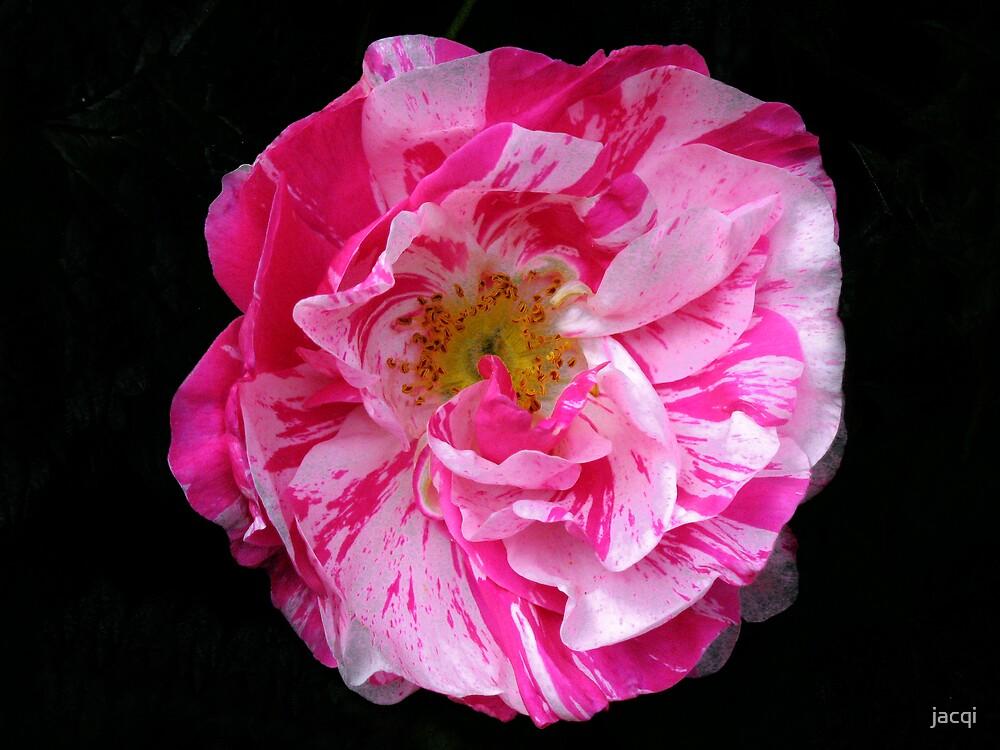 Rosa Mundi by jacqi