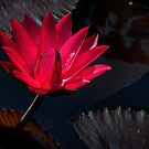 Water Lily in Red by cclaude