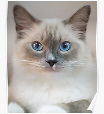 White Kitty With Blue Eyes Poster