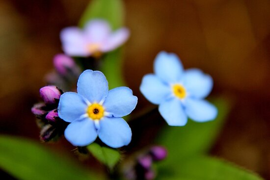 Blue Forget-me-nots I von Kathleen Daley