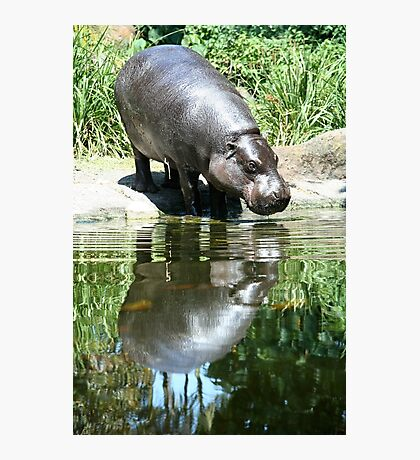 Hippo reflecting Photographic Print