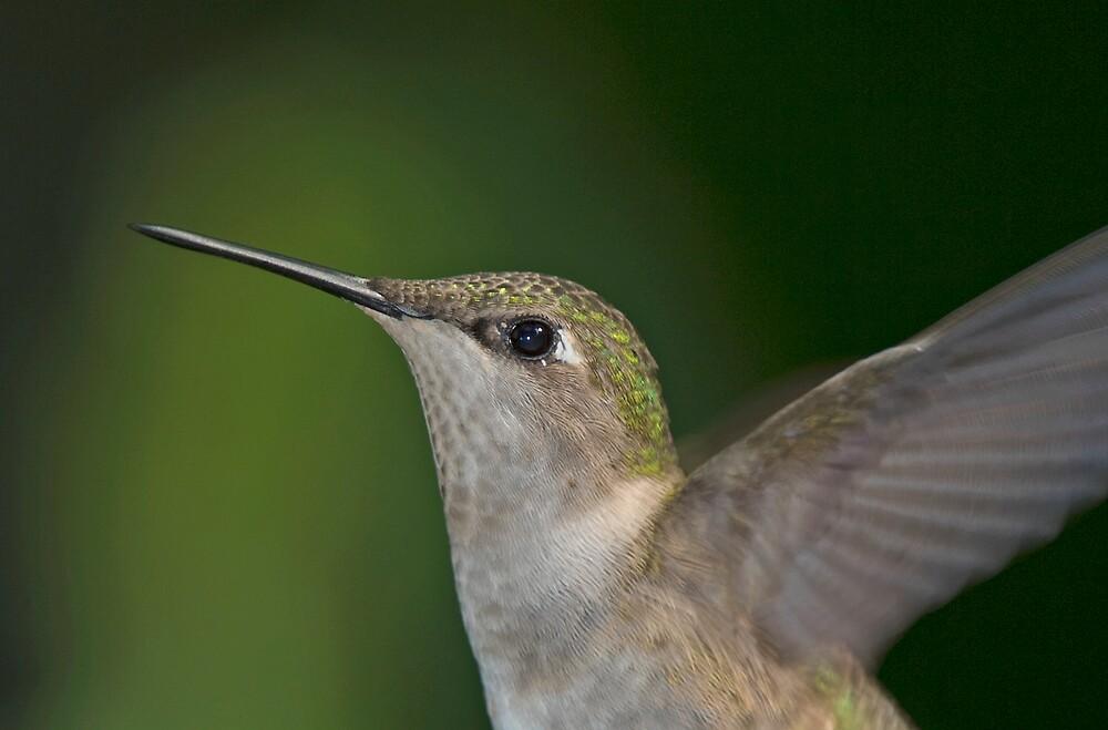 Female Humming Bird by Michael Wolf