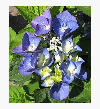 Blaue Spitzenkappe - Hortensienblüte Fotodruck