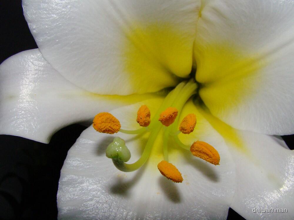 Asian Lilly Macro by dmwarnman