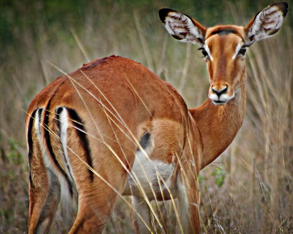Shy Impala by Scott Ward