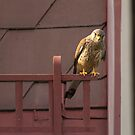 Falco tinnunculus by Mythos57