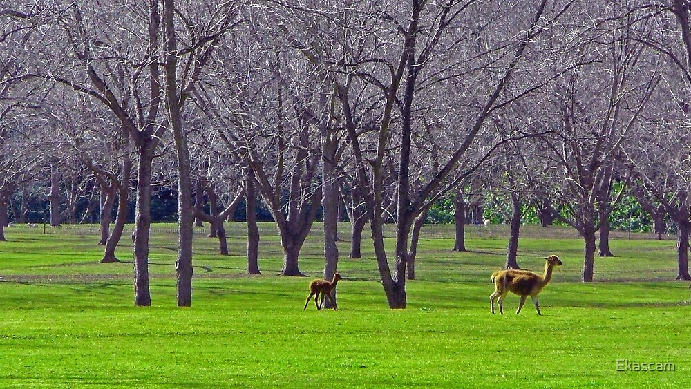 ALPACA'S GRAZING IN THE DISTANCE by Ekascam